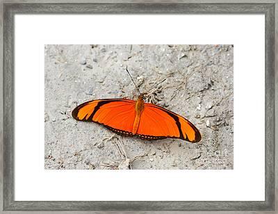 Flambeau Butterfly Framed Print