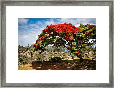 Flamboyant In Glorious Bloom. Mauritius Framed Print by Jenny Rainbow