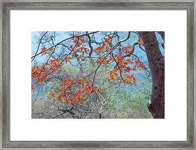 Flamboyant Tree (delonix Regia) Framed Print by K Jayaram