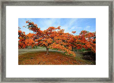 Flamboyant Tree - St. Lucia Framed Print by Brendan Reals