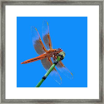 Flame Skimmer #2 - Dragonfly Framed Print by Nikolyn McDonald