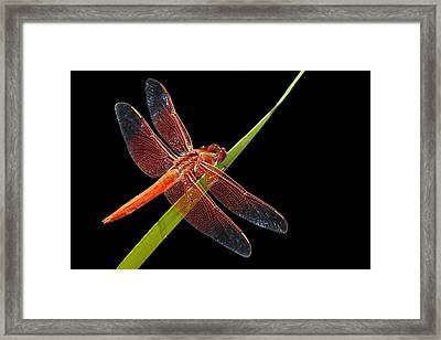 Flame Skimmer - Dragonfly Framed Print by Nikolyn McDonald