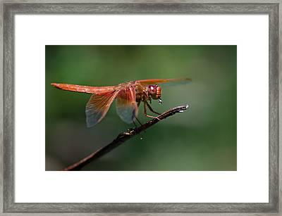Flame Skimmer Dragonfly Framed Print by Linda Villers