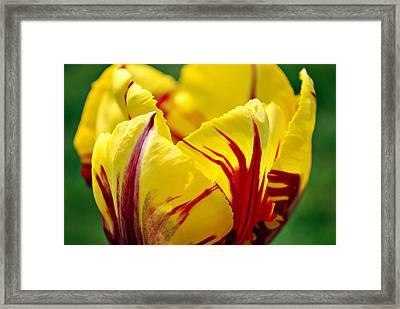 Flame Tulip Framed Print by Kjirsten Collier