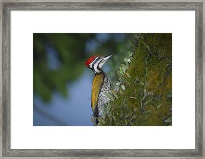 Flameback Woodpecker Framed Print by Star Ship
