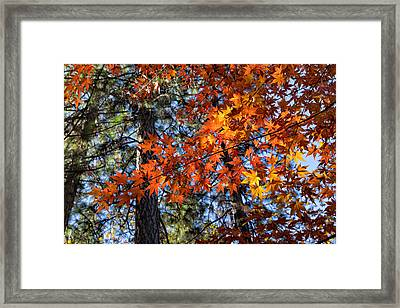 Flaming Maple Beneath The Pines Framed Print by Kathleen Bishop