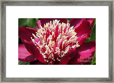 Flaming Peony Framed Print