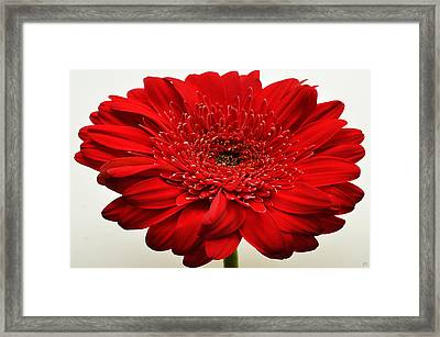 Flaming Red Zinnia Framed Print by Sherry Allen