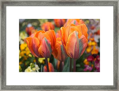 Flaming Tulips Framed Print by Gerry Bates