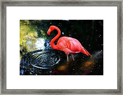 Flamingo 9 Framed Print by Dan Dennison