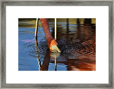 Flamingo Close Up Framed Print by Dave Dilli