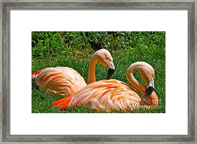 Flamingo Duo Framed Print by Eve Spring