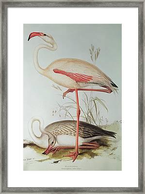 Flamingo Framed Print by Edward Lear