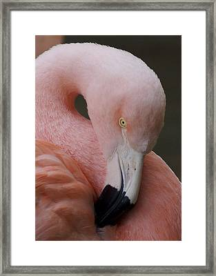 Flamingo Framed Print by Eric Cross