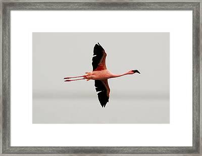 Flamingo Flight Framed Print
