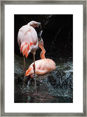 Flamingo Love Framed Print by Mike Lee