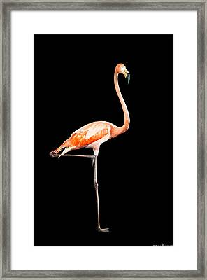 Flamingo On Black Framed Print by Avian Resources