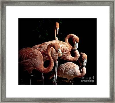 Flamingo Framed Print by Robert Frederick