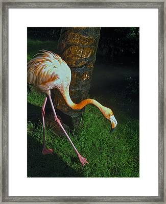 Flamingo Search Party Framed Print