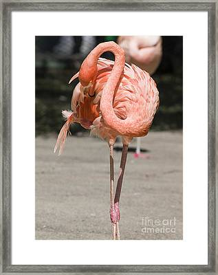 Flamingo Framed Print by Steven Ralser