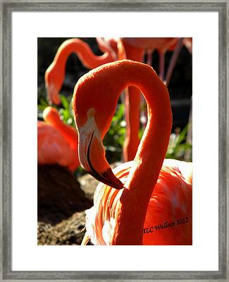 Flamingo Framed Print by Tammy Wallace