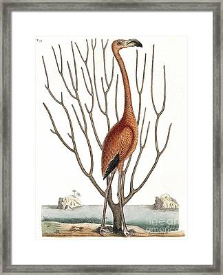 Flamingo With Keratophyton Plant, 1731 Framed Print by Wellcome Images