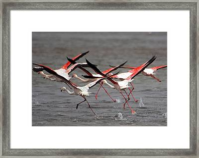 Framed Print featuring the photograph Flamingoes In Flight by Dennis Cox WorldViews