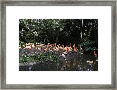 Flamingos In Their Exhibit Along With A Small Lake In The Jurong Bird Park Framed Print by Ashish Agarwal