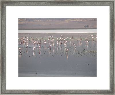 Flamingos Framed Print by Jeff Chase
