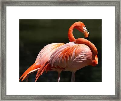 Flamingos Framed Print by John Kunze