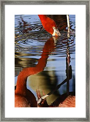 Flamino Reflections 1 Framed Print by Dave Dilli
