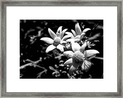 Framed Print featuring the photograph Flannel Flower by Miroslava Jurcik