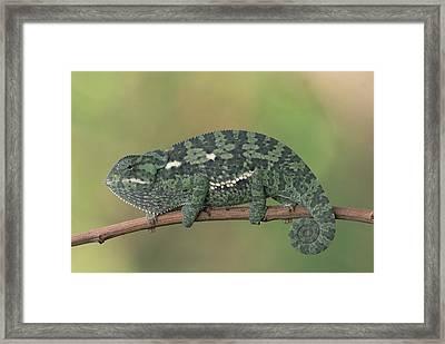 Flap-necked Chameleon Botswana Framed Print by Gerry Ellis