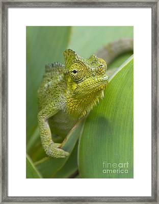 Framed Print featuring the photograph Flap-necked Chameleon by Chris Scroggins