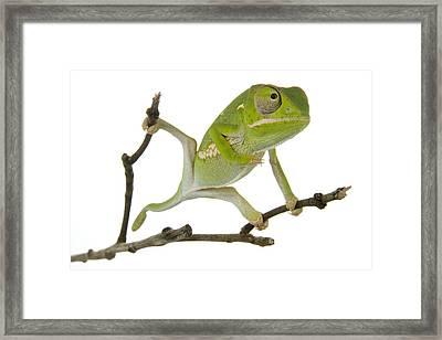 Flap-necked Chameleon Gorongosa Framed Print by Piotr Naskrecki