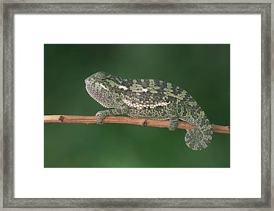 Flap-necked Chameleon Portrait Botswana Framed Print by Gerry Ellis