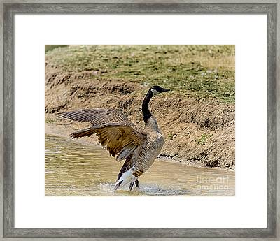 Flapping Goose Framed Print