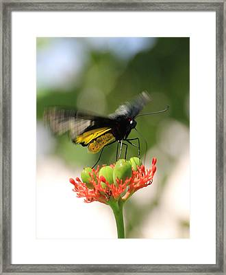Flapping Wings Framed Print by Rosalie Scanlon