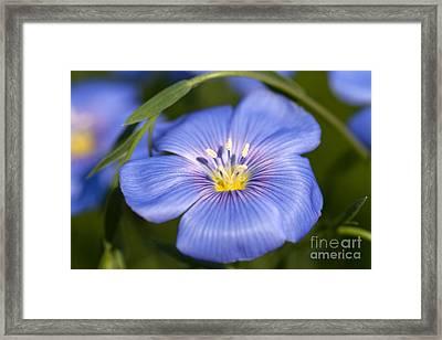 Flax Flower Framed Print by Iris Richardson
