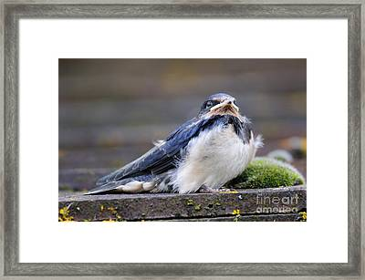 Fledgling Swallow Framed Print