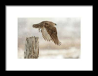 Snowstorm Framed Prints