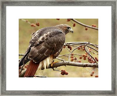 Flight Feathers On Board - Prepare For Take Off Framed Print by Inspired Nature Photography Fine Art Photography