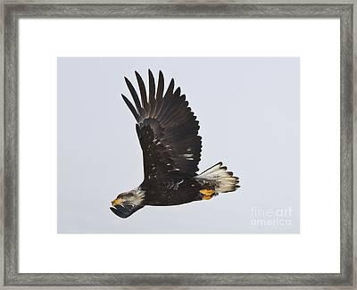 Foggy Flight Framed Print by Mike  Dawson
