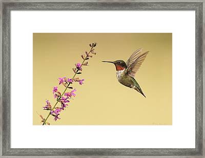 Flight Of A Hummingbird Framed Print by Daniel Behm