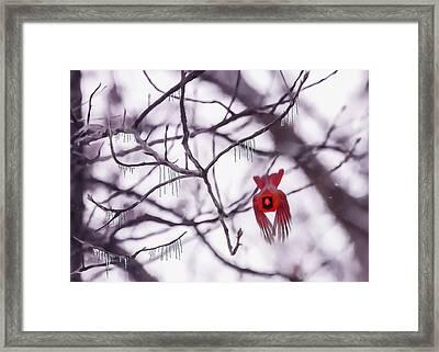 Flight Of A Winter Cardinal Framed Print by Bill Tiepelman