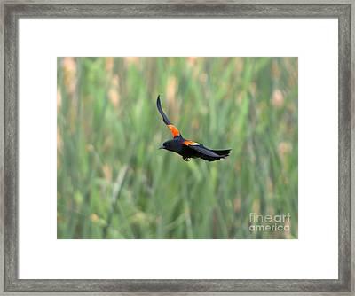 Flight Of The Blackbird Framed Print by Mike  Dawson