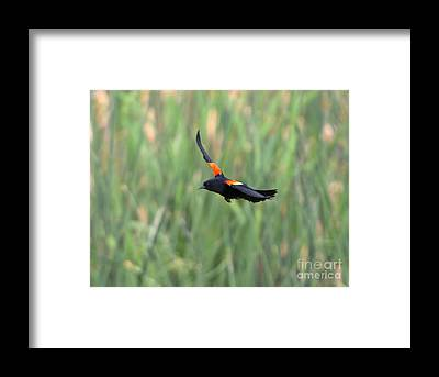 Red-winged Blackbird Framed Prints