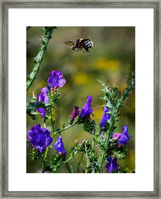 Flight Of The Bumblebee Framed Print by Marco Oliveira