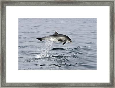 Flight Of The Dolphin Framed Print by Shoal Hollingsworth
