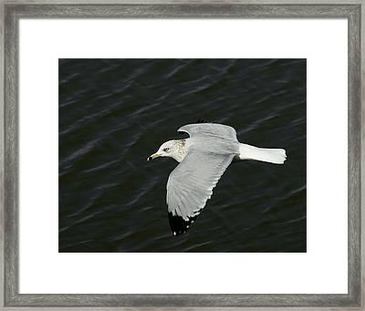 Flight Of The Gull Framed Print by Ernie Echols